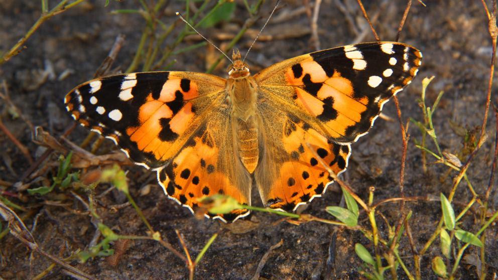 La mariposa que recorre una ruta migratoria como la de las aves