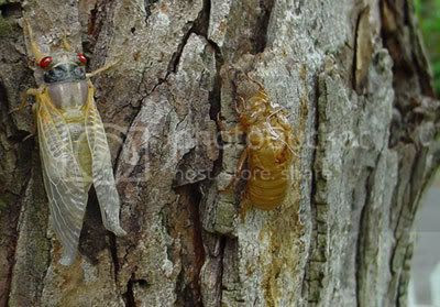Cicada new, maturing