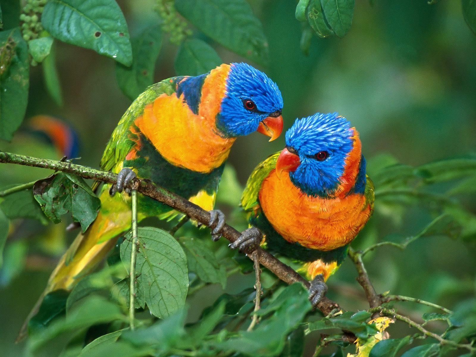 Mewarnai Burung Cendrawasih