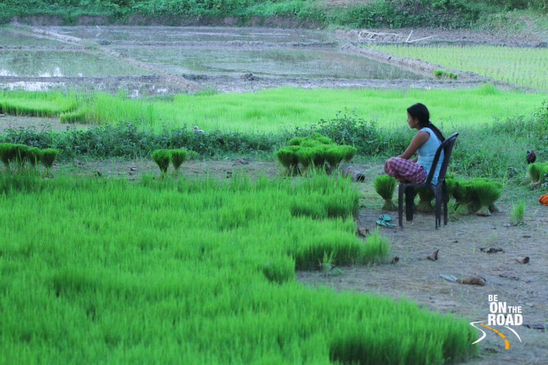 Nursery for paddy crop, Mishing Tribal village, Panbari, Assam, India