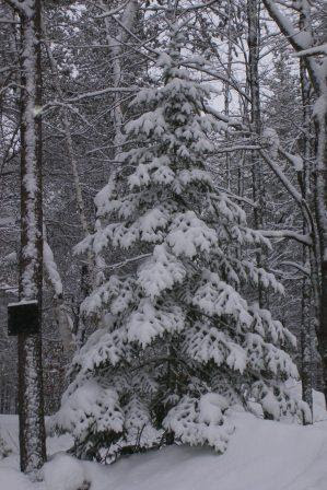 Snow covered tree in Cottage backyard
