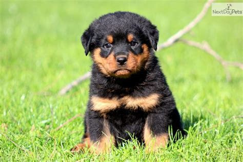 Rottweiler Puppy Pics Cake Ideas and Designs
