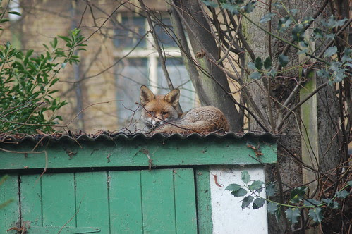 Fox on shed Jan 12