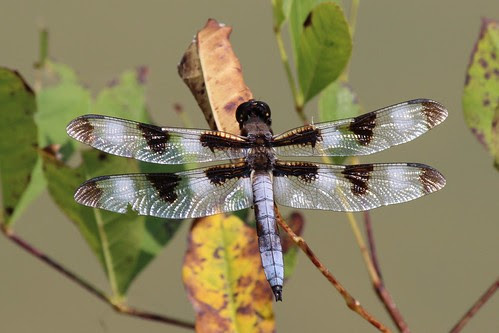 IMG_1054_Twelve_Spotted_Dragonfly