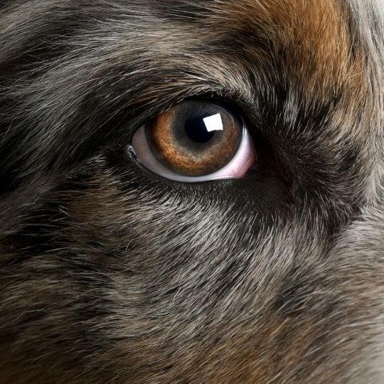Síndrome del ojo seco en perros