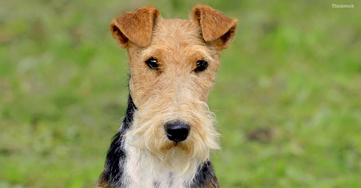 Black And Tan Wire Haired Terrier