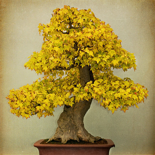 Zen Maple Tree by backbone studio