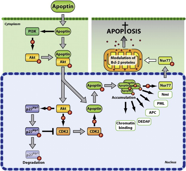 Proposed mechanism of action of apoptin in tumor cells. Upon heterologous ...
