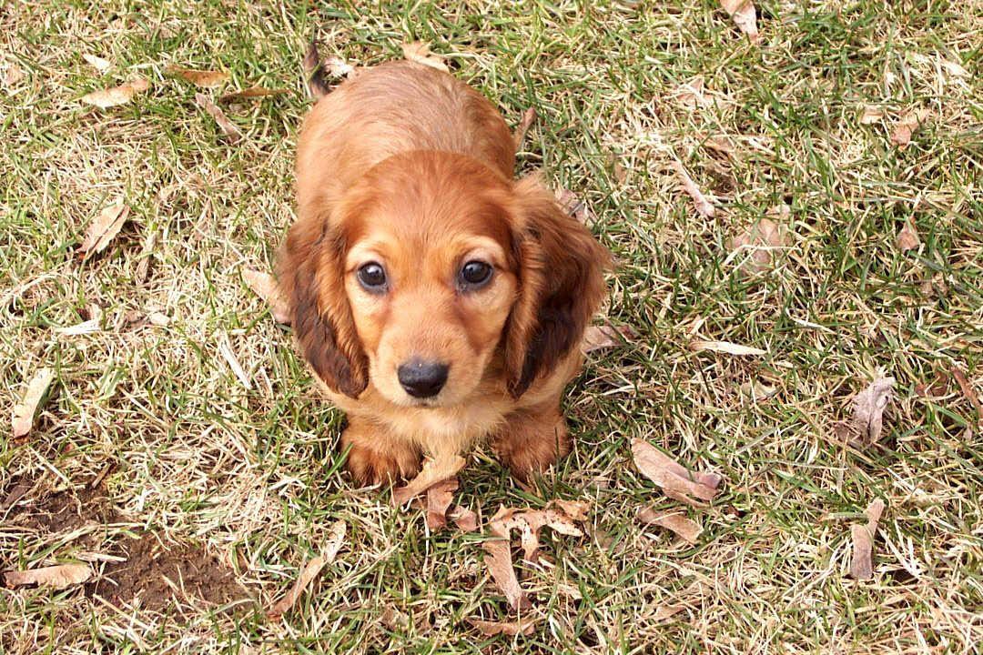 Miniature Dachshund Puppy for Sale - Adoption, Rescue Missouri