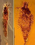 A sinistra Triasacarus fedelei, a destra Ampezzoa triassica (Ap)