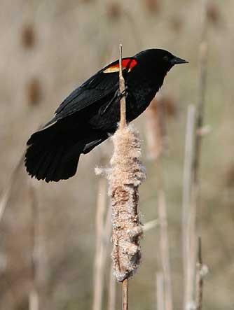 Red-winged blackbird male - Agelaius phoeniceus