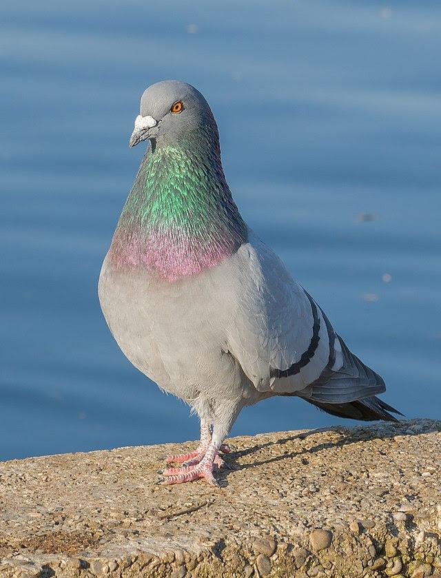 Unduh 77  Gambar Burung Merpati Dan Nama Nya  Terbaru Free