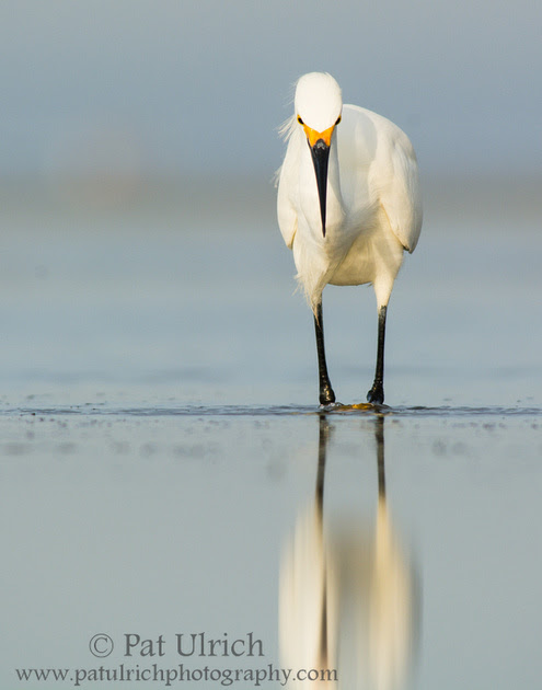 Photograph of a snowy egret hunting in a tidal pool at Bunche Beach