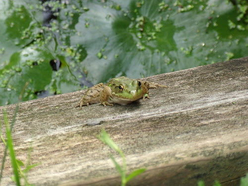 The frogs of Fortier Pond