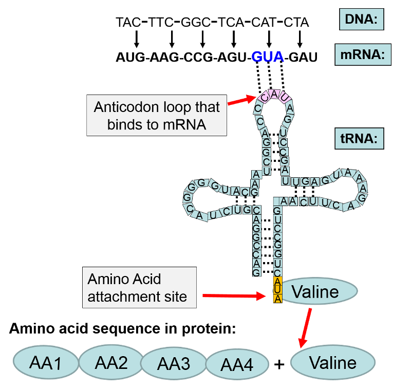 DNA mRNA tRNA Protein