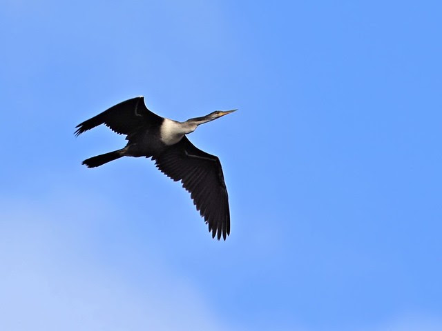 Anhinga in flight 20130530