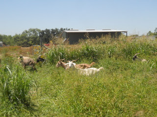 More Goat Grazing in the Wheat Field