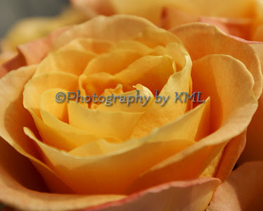 a peach colored rose