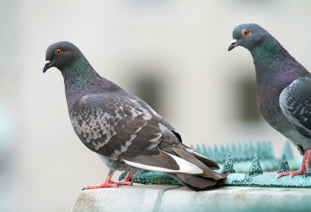 PigeonSquared