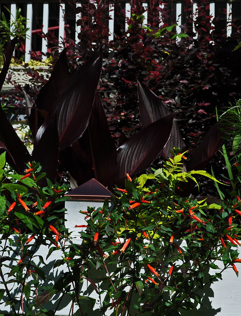 Cuphea ignea 'David Verity' and Canna australis