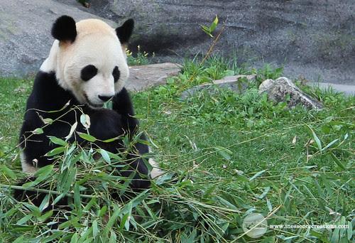 Da Mao, Giant Panda - Toronto Zoo, Ontario, Canada