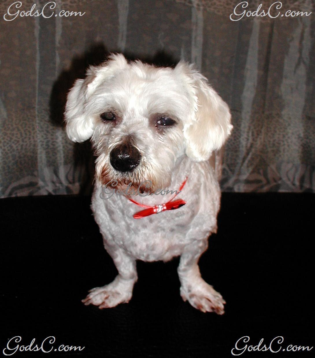 Yorkie Teddy Bear Haircut Shih Tzu Yorkie Haircuts