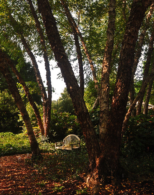 Grove (Betula nigra)