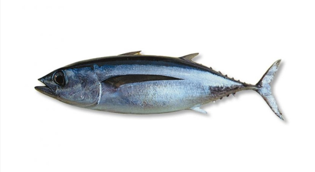 44 Top Gambar Ikan Tongkol