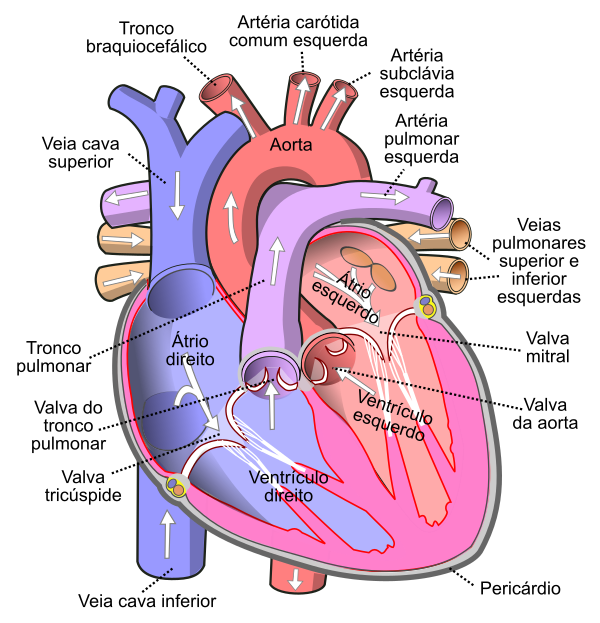 Ficheiro:Diagram of the human heart (cropped) pt.svg