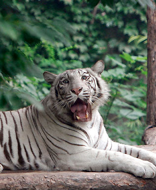 White tiger. Wild ways  A tiger of this species killed his keeper.