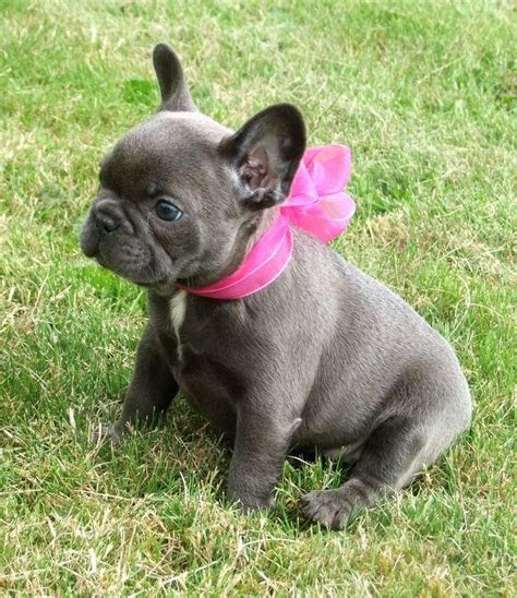 Pure Quality Xmax blue frenchies Puppies   Phoenix