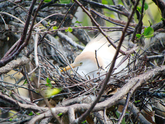 Ed Gaillard: birds &emdash; Cattle Egret on nest, Wakodahatchee Wetlands, Florida