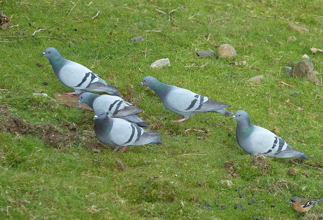 27102 - Rock Doves, Isle of Mull
