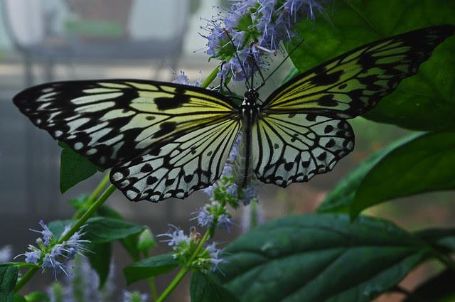 Butterflies Live (5)