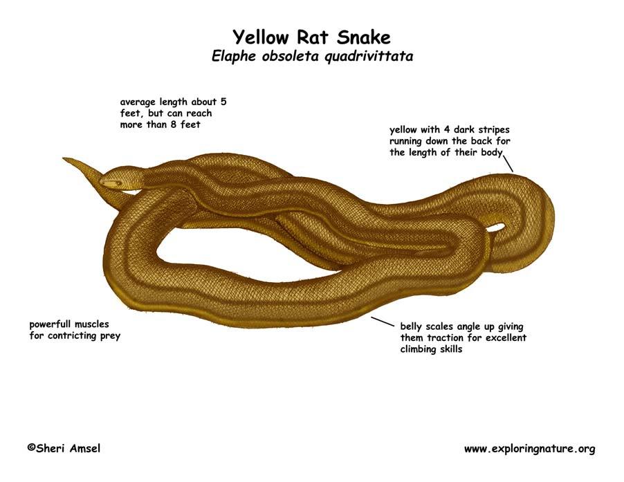 Snake (Yellow Rat)
