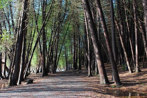 Under the cedars