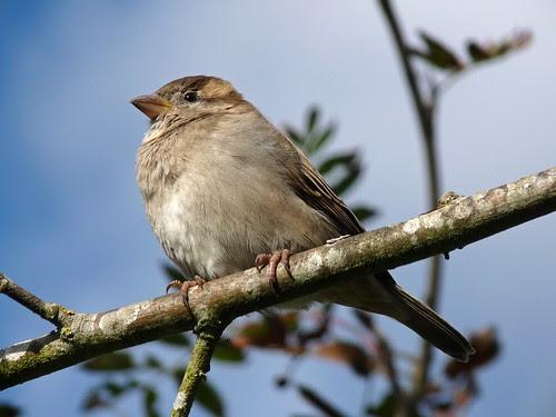 23618 - Chaffinch, Dorset