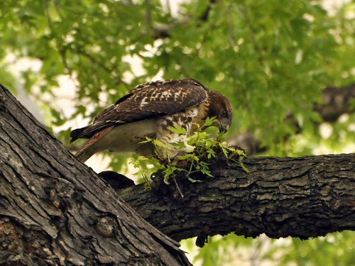 Young Red-Tail Eating Pigeon