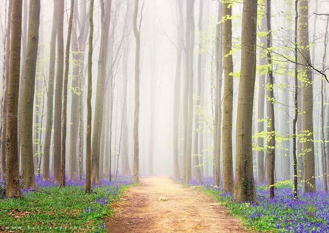 Το εκπληκτικό Μπλε Δάσος του Βελγίου (12)