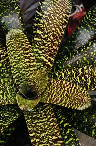 Bromeliad Vriesea Hybrids