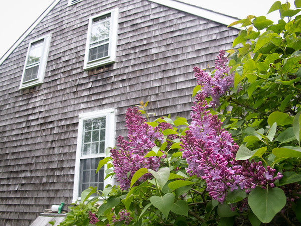 Edgartown, purple lilac, Alison Boylston Piazza