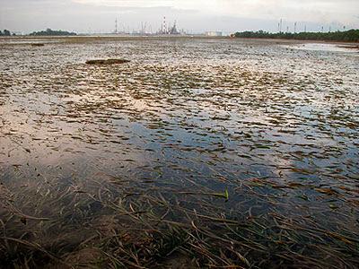 Seagrass lagoon at Semakau Landfill