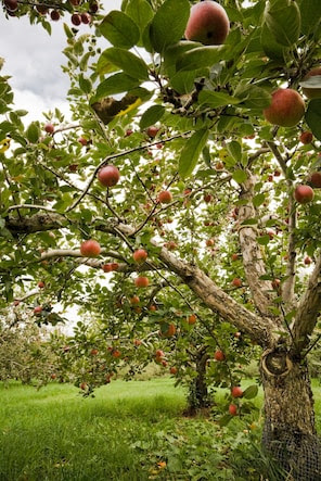 Apple trees for the home garden - The Washington Post