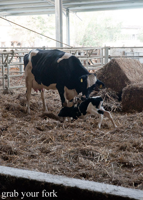 Newborn calf on dairy farm, Popovitsa, Bulgaria