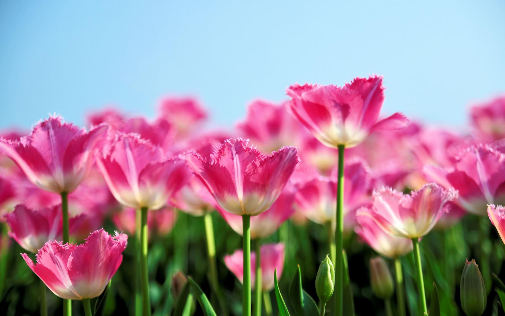 Nature flowers pink petals plants fields sky contrast wallpaper ...
