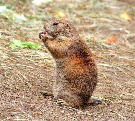 Free photo: Prairie Dog, Gophers, Croissant   Free Image on Pixabay   208539