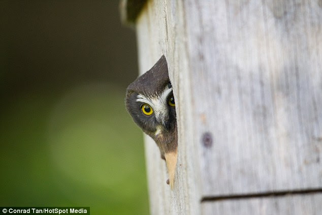 Peek-a-boo! The tiny bird nervously peeps out of his birdbox home in the hills