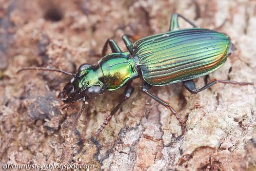 IMG_5850 copy Carabidae - Lebiini - Pericalina - Catascopus sp.?