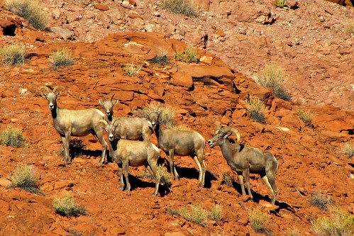 IMG_3905_Mountain_Sheep_Colorado_River_Float_Trip_in_Glen_Canyon