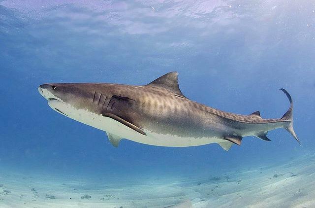 -Tiger_shark